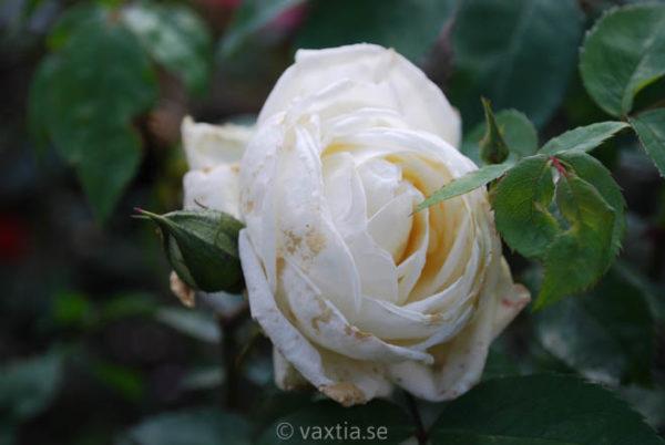 'Ilse Krohn Superior' (Rosa x kordesii)-0