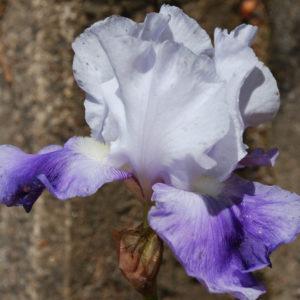 Iris germanica 'Latest Style'-0