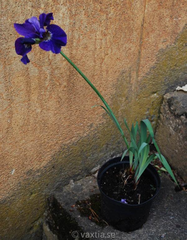 Iris sibirica 'Ruffled Velvet'-1556