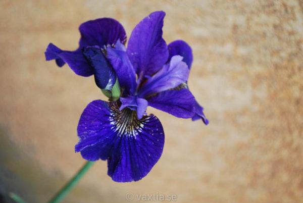 Iris sibirica 'Ruffled Velvet'-1557