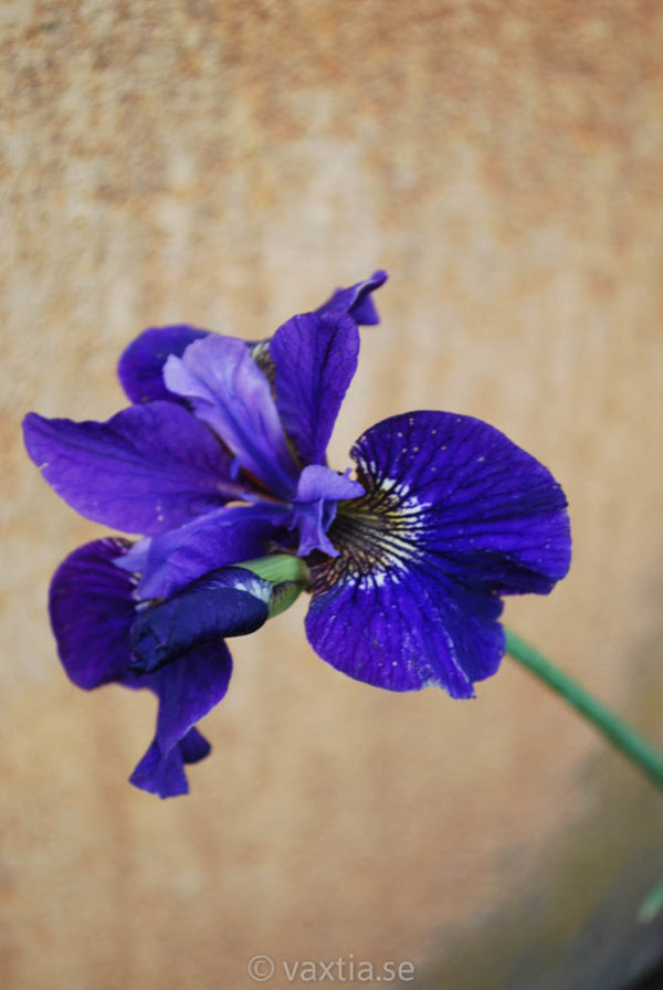 Iris sibirica 'Ruffled Velvet'-0