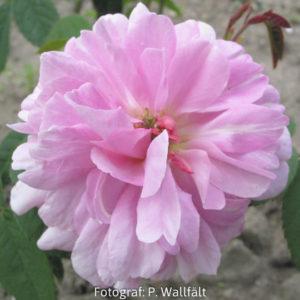 'Ispahan' (Rosa x damascena) -0