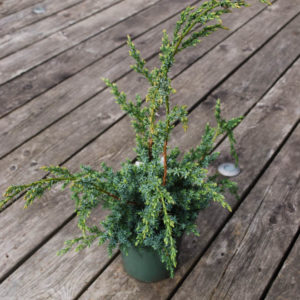 Juniperus chinensis 'Blue Alps'-0