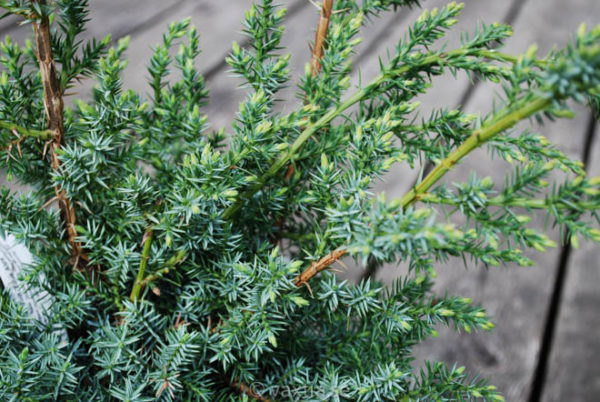 Juniperus chinensis 'Blue Alps'-700