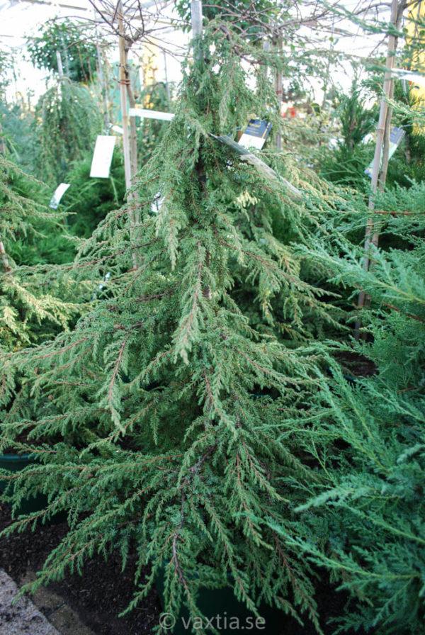 Juniperus communis 'Green Carpet'-94
