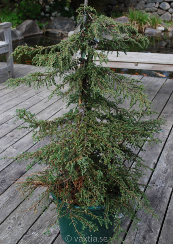 Juniperus communis 'Green Carpet'-704