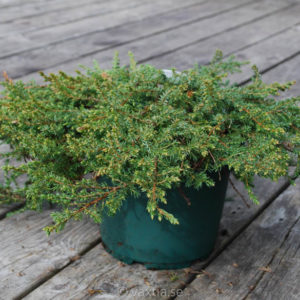 Juniperus communis 'Green Carpet'-0