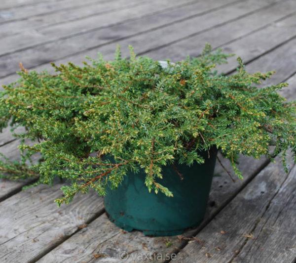 Juniperus communis 'Green Carpet'-0