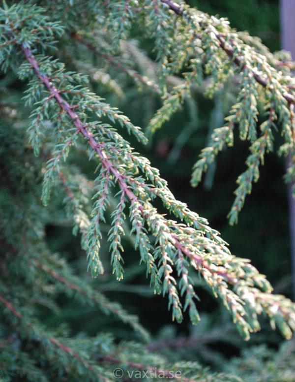 Juniperus communis 'Green Carpet'-95