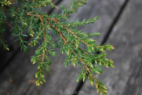 Juniperus communis 'Green Carpet'-705