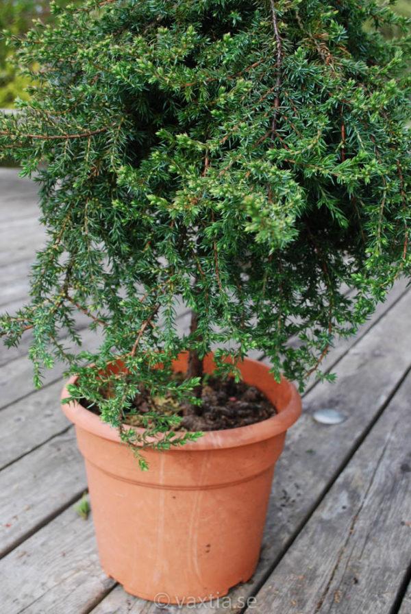 Juniperus communis 'Green Mantle'-706