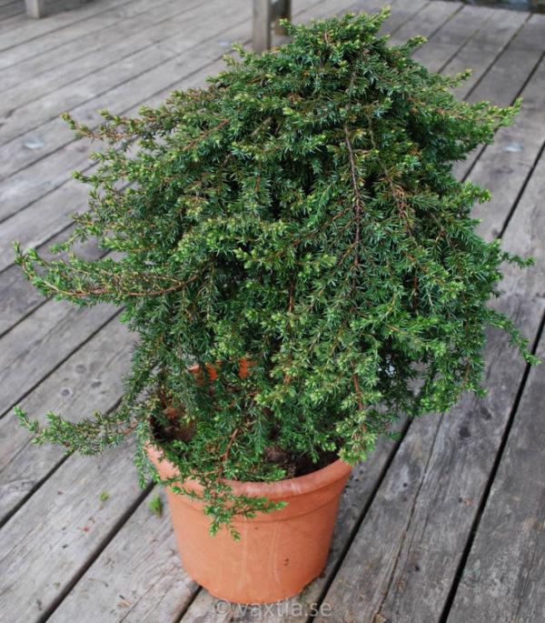 Juniperus communis 'Green Mantle'-0