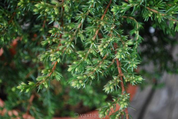 Juniperus communis 'Green Mantle'-707