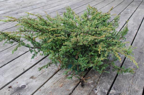Juniperus communis 'Repanda'-0