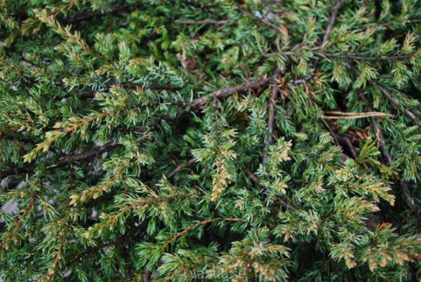 Juniperus communis 'Repanda'-710