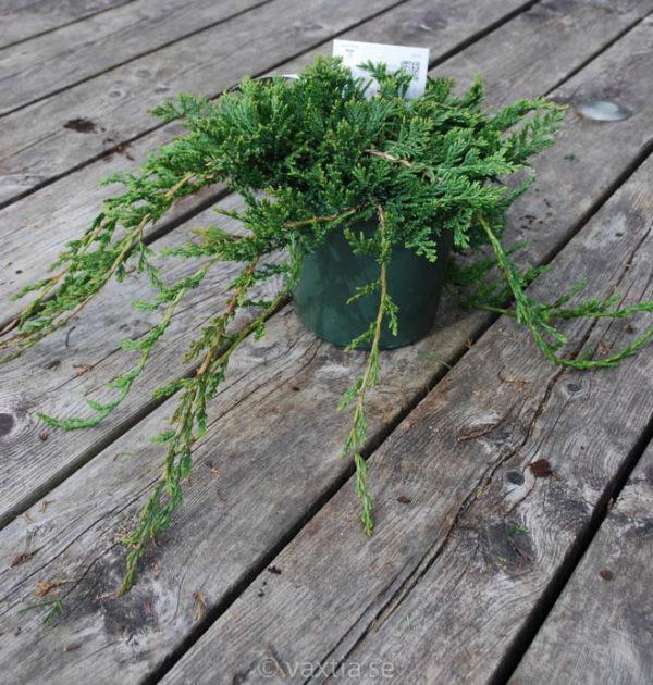 Juniperus horizontalis 'Glauca' (Wiltonii)-0