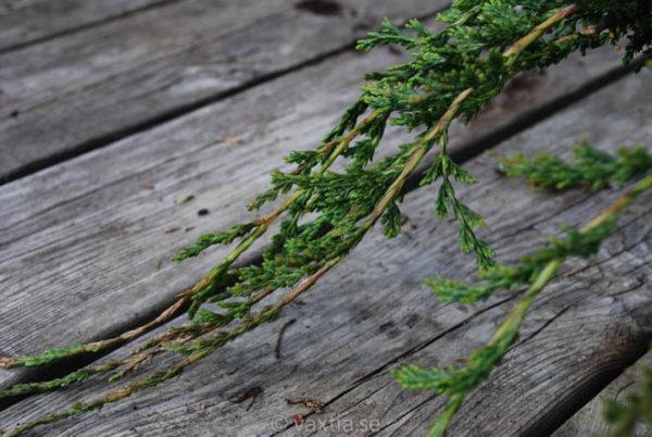 Juniperus horizontalis 'Glauca' (Wiltonii)-712