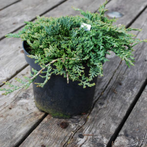 Juniperus horizontalis 'Icee Blue' -0