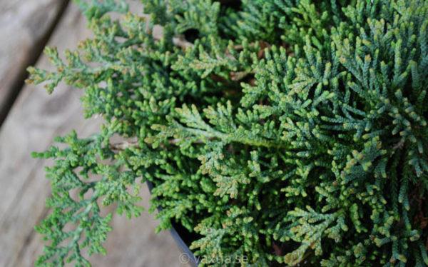 Juniperus horizontalis 'Icee Blue' -715