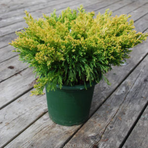 Juniperus horizontalis 'Limeglow'-0
