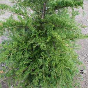 Juniperus media 'Pfitzeriana Compacta'-0