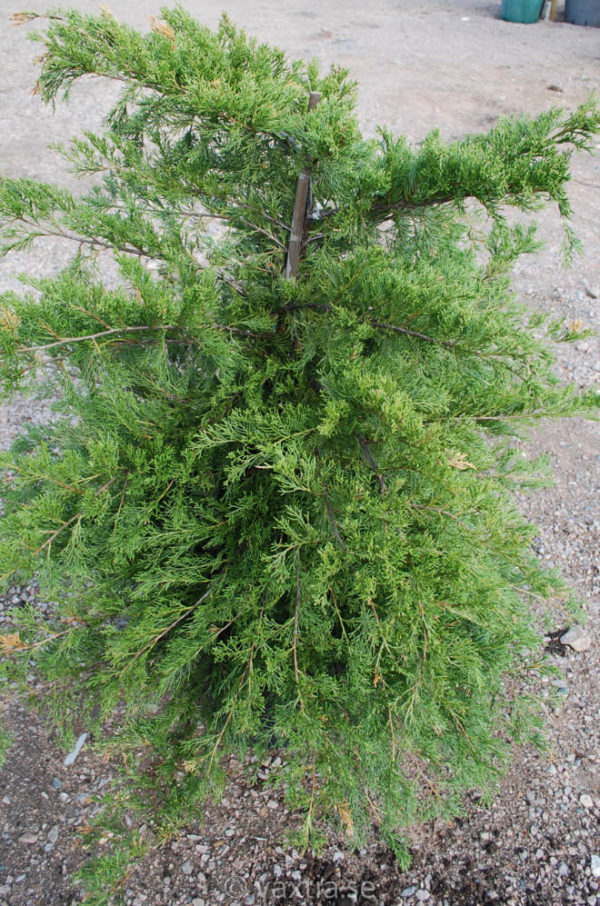 Juniperus media 'Pfitzeriana Compacta'-0