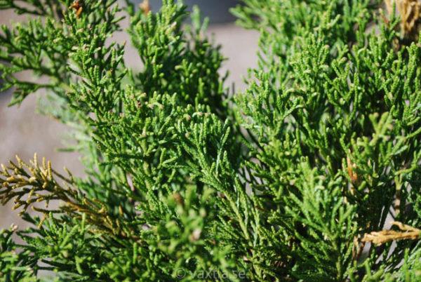 Juniperus media 'Pfitzeriana Compacta'-921