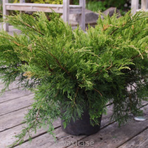 Juniperus media 'Mint Julep'-0