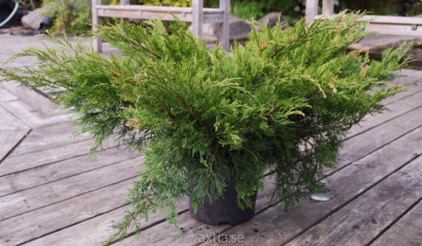 Juniperus media 'Mint Julep'-0