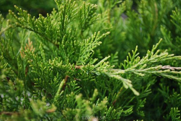 Juniperus media 'Mint Julep'-718