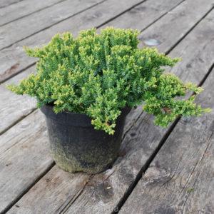 Juniperus procumbens 'Nana'-0