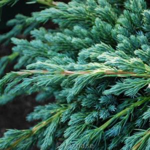Juniperus - Enar