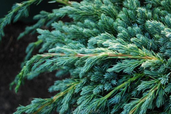 Juniperus squamata 'Blue Spider'-160