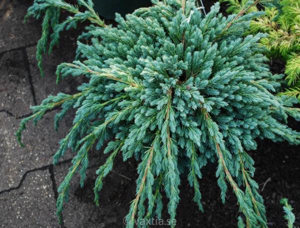 Juniperus squamata 'Blue Spider'-0