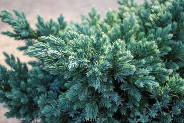 Juniperus squamata 'Blue Star'-96