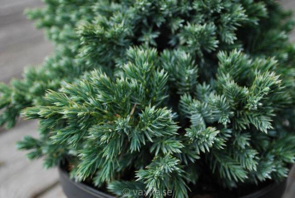 Juniperus squamata 'Blue Star'-725