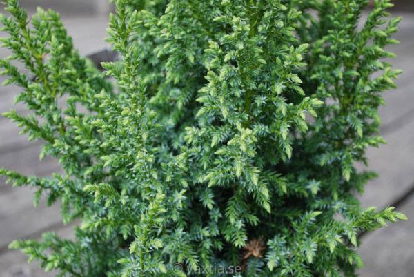 Juniperus squamata 'Loderi'-727