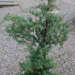 Juniperus virginiana 'Frosty Morn'-0