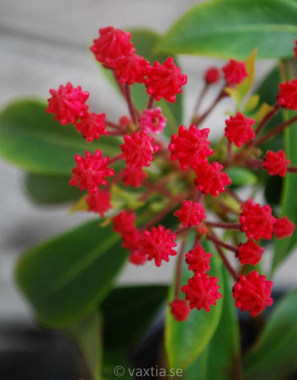 Kalmia latifolia 'Ostbo Red'-0