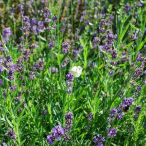 Lavandula angustifolia 'Hidcote Blue'-0