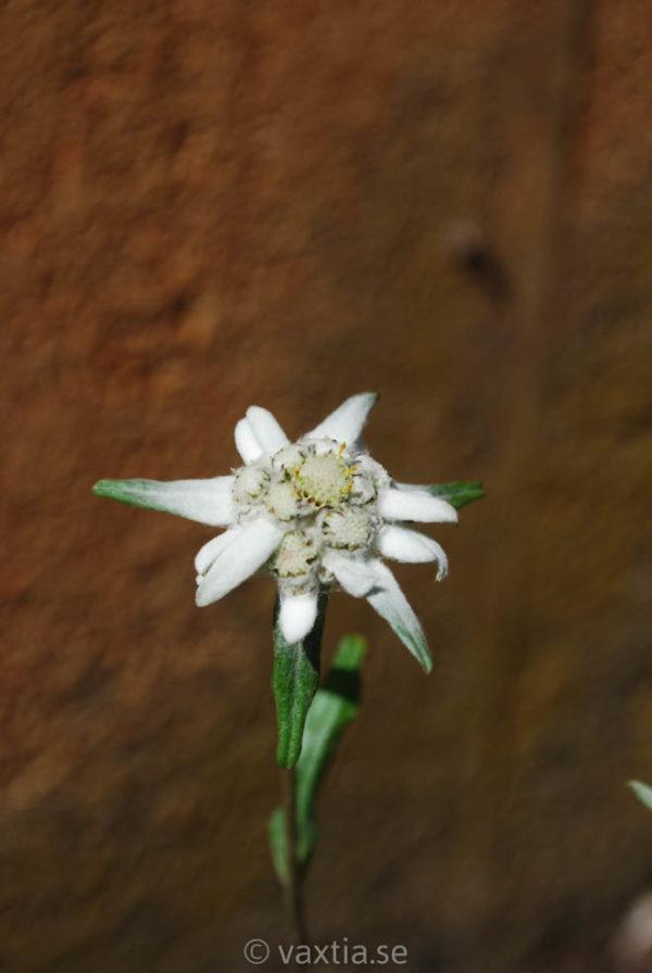 Leontopodium alpinum-0