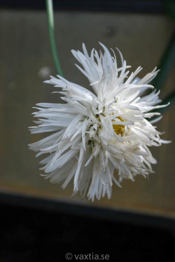Leucanthemum superbum 'Aglaia'-0