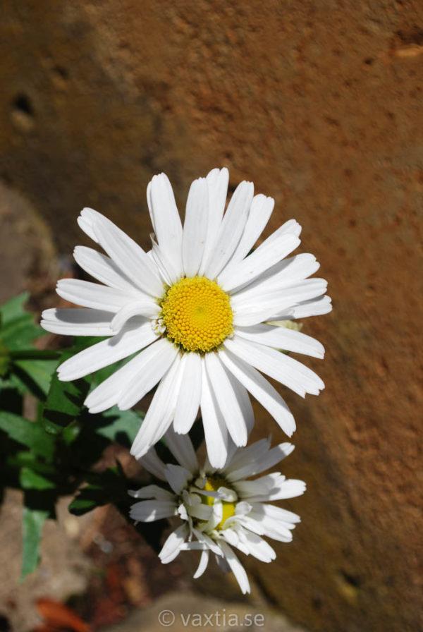 Leucanthemum superbum 'Dwarf Snow Lady'-0