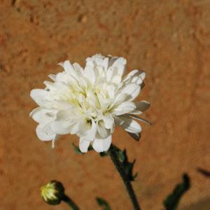 Leucanthemum superbum 'Victorian Secret'-0