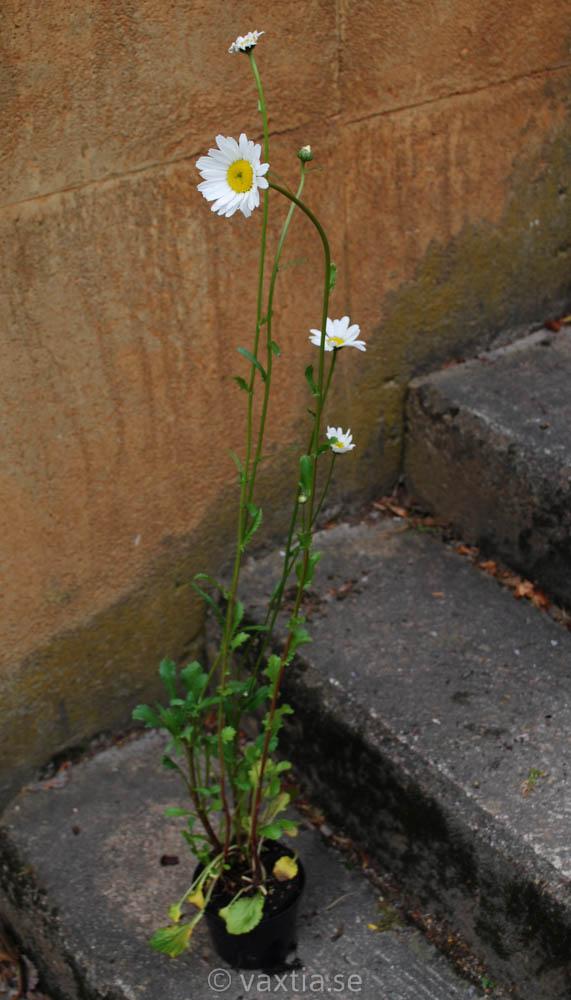 Leucanthemum vulgare 'Majdrottning'-1019