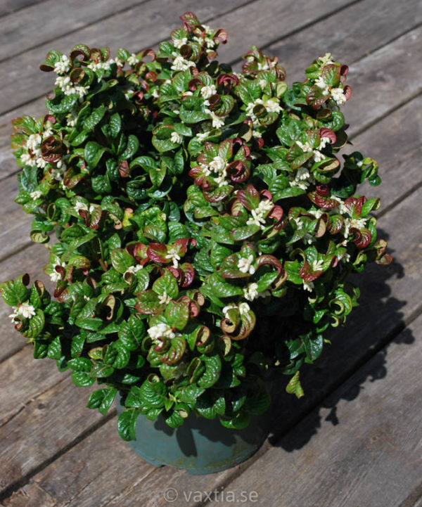 Leucothoe axillaris 'Curly Red' -0