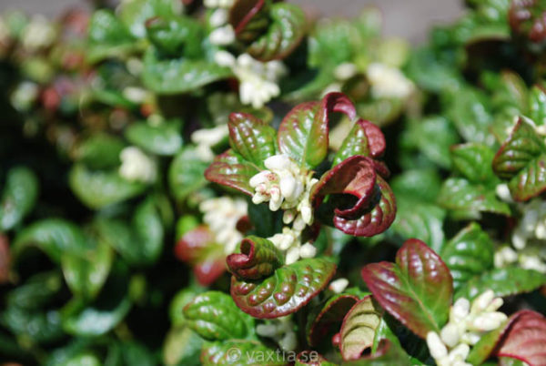 Leucothoe axillaris 'Curly Red' -862