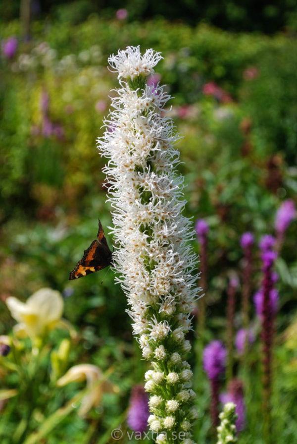 Liatris spicata 'Alba' -0