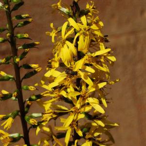Ligularia stenocephala 'The Rocket'-0