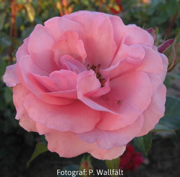 'Lill Lindfors' (Floribunda)-0